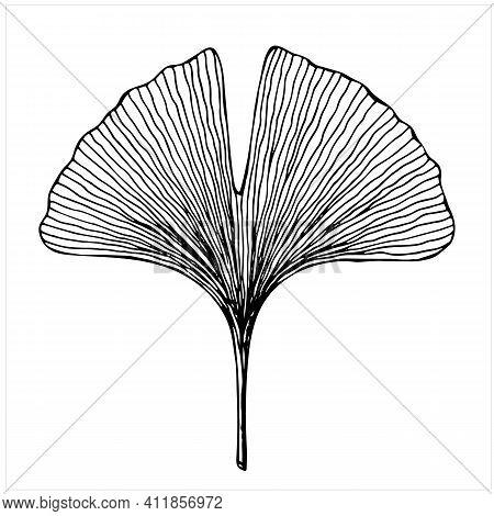 Ginkgo Biloba Tree Leaf, Isolated Hand Drawn Illustration