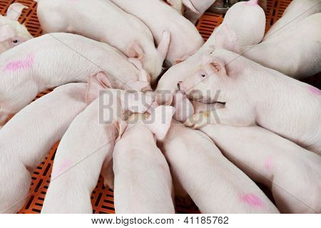 young Group piglet feeding at breeding pig farm