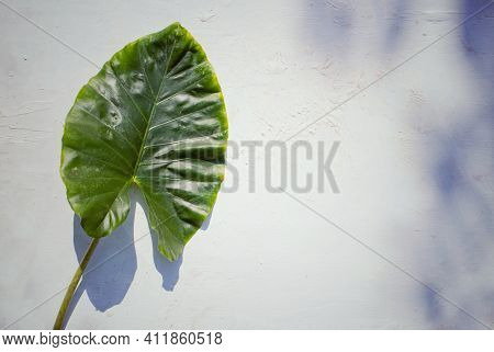 Top View Of Tropical Green Taro Leaf Isolated On Textured White Background With Copy Space For Texts