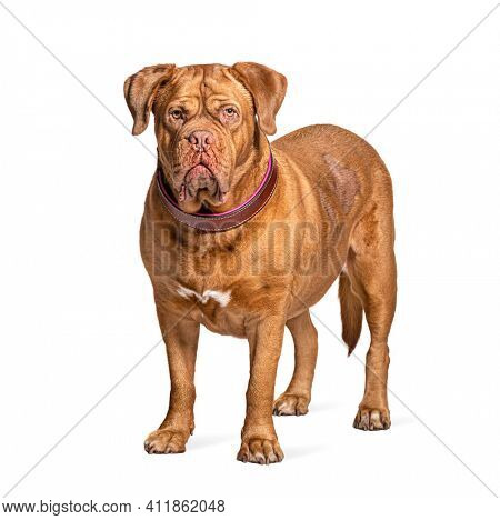 Dogue de Bordeaux standing in front, isolated