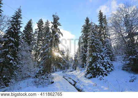 Winter landscape in mountain pine forest. Take it in Carpathian mountains in Ukraine