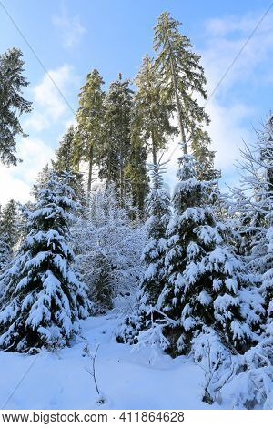 winter scene in Carpathian mountain forest in Ukraine