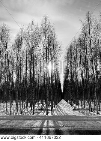 Beautiful Winter Day In The Woods. Birches Between The Paths. The Birch Forest Perfectly Drew Trees.