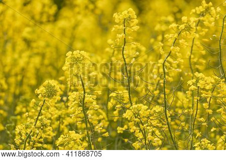 Yellow Rapeseed Flowers In A Large Cultivated Field Near Ejea De Los Caballeros, In Aragon, Spain. E