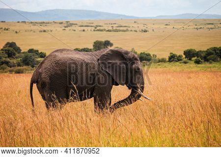 African Bush Elephant (loxodonta Africana) In A High Yellow Grass