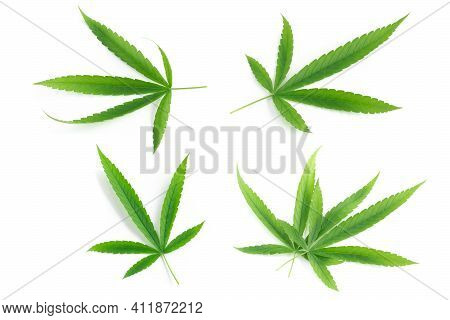 Young Cannabis Or Marijuana Leaf Plant On White Background, Health Care And Medical Concept
