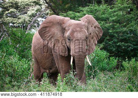 African Bush Elephant (loxodonta Africana) In A Green Wood