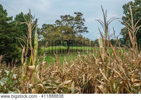 Standing In A Cornfield In The Foreground Looking Out At A Large Tree With Two Attached Hanging Swin