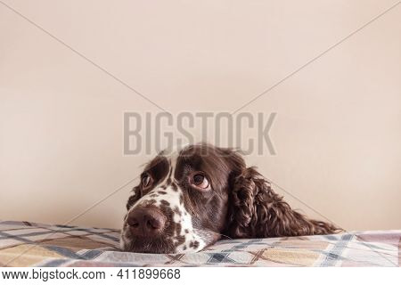 Dog With Cute Sentimental Eyes Put It Muzzle On A Bed. Staying Alone At Home, Dog Depression, Dog An
