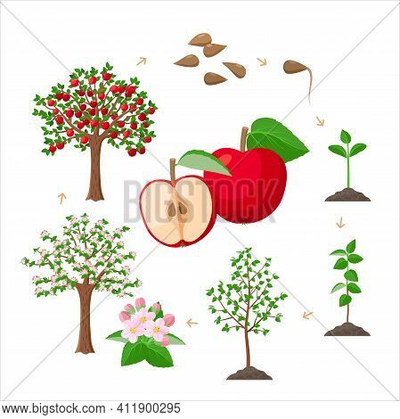 Apple Tree Life Cycle From Seeds To Ripe Red Apples, Tree Growing From The Soil Infographic. Apple T