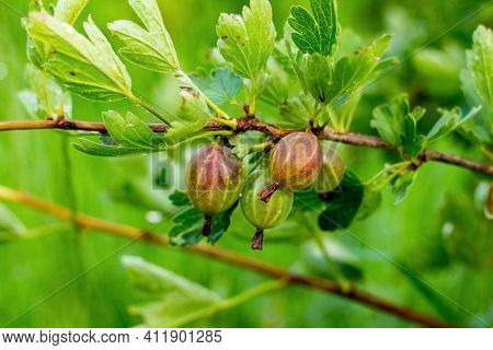 Gooseberry Berries In The Garden On The Bushes During Ripening