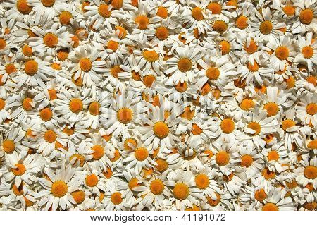 A carpet made of plenty of flowers of camomiles