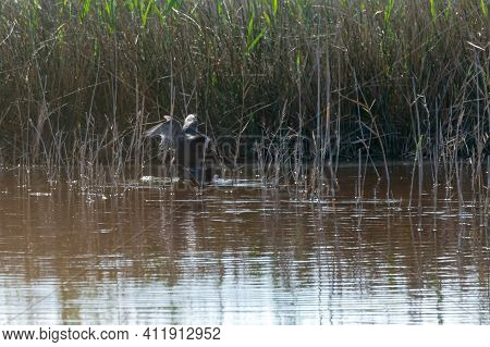 Common Coot, Wild Bird In A Lake, With Reeds And Reeds, Mating In Early Spring, Natural Life, Fulica