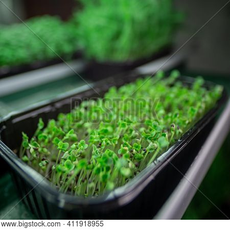 Microgreens. Racks For Growing Organic Plants. Containers With Microgreens In An Industrial Building