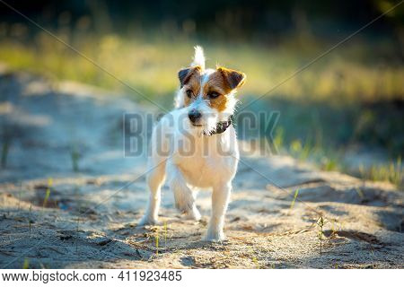 Cute Happy Jack Russell Terrier Pet Dog Puppy Listening In The Grass. Spring, Summer Walking Concept