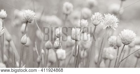 Allium blooming purple onion plant. Nature background. Black and white photo.