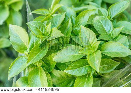 Green basil herbs. Large bunch of basil close-up.