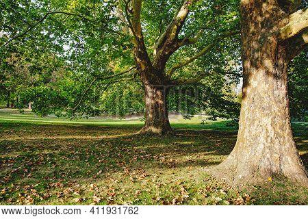 Beautiful Oaks In Public Park In Germany