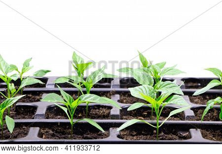 Young Seedlings Of Pepper. Seedlings. Gardening. Chilli Pepper Seedlings. Copy Space.young Plant,