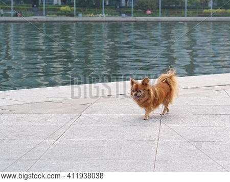 The Pomeranian Is A Breed Of Dog. Classed As A Toy Dog Breed Because Of Its Small Size And Adorable.
