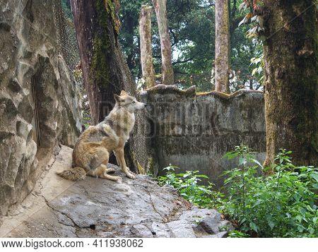 The Wolf In Padmaja Naidu Himalayan Zoological Park. Darjeeling City, India. 2011 April 15Th.