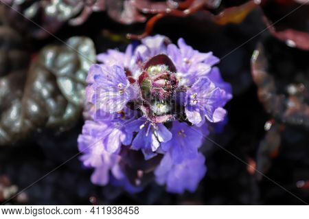 Macro Of Cluster Of Bugleweed Trumpet Shaped Flowers