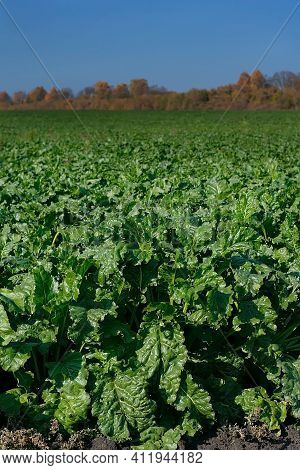 Healthy Ripe Sugar Beet Field Ready To Harvest. Green Field Of Beets. Agricultural Landscape, Agricu