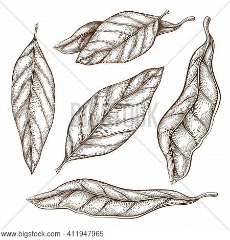 Hand Drawn Bay Leaves Illustration Isolated On White. Sketch Of Dry Bay Leaf Set. Vintage Engraved S
