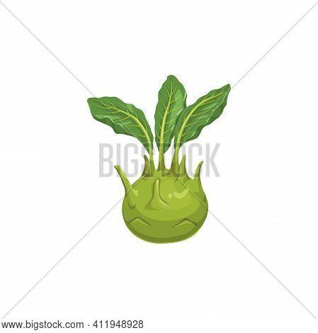 Cabbage Turnip Isolated Kohlrabi Vegetable Food Icon. Vector German Cabbage Turnip, Biennial Vegetab