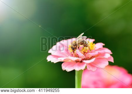 Bee And Flower. Close Up Of A Large Striped Bee Collecting Pollen On A Pink Flower On A Sunny Day On