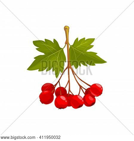 Hawthorn Isolated Vector Icon, Wild Berries With Green Leaves On White Background. Healthy Food, Org