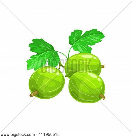 Gooseberry Isolated Green Ripe Fruit With Leaves, Realistic Icon. Vector Organic Berry On Stem, Summ