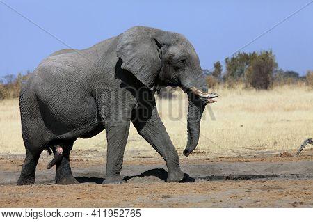 A Massive Bull Elephant At The Waterhole, African Bush Elephant (loxodonta Africana).a Large Male El
