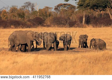 A Herd Of African Bush Elephant (loxodonta Africana) Burrowing Around A Waterhole And Drinking Water