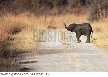 The African Bush Elephant (loxodonta Africana) The Young  Elephant Sniffing With A Raised Trunk. Bab