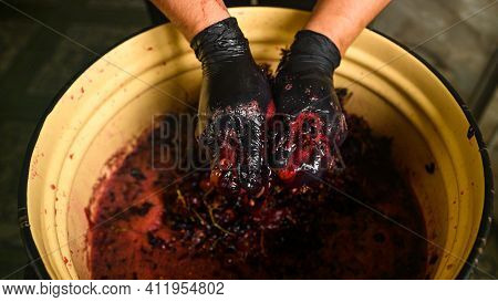 Winemaking At Home, Squeezing Grape Juice By Hand, The Natural Fermentation Process.