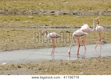 Plenty of food available for Flamingos during low tide