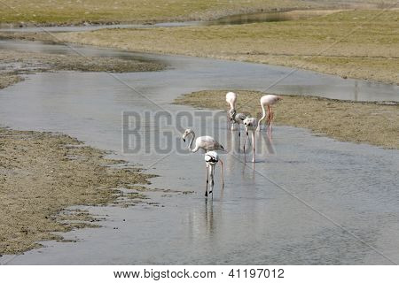 Flamingos on the sea bed during low tide