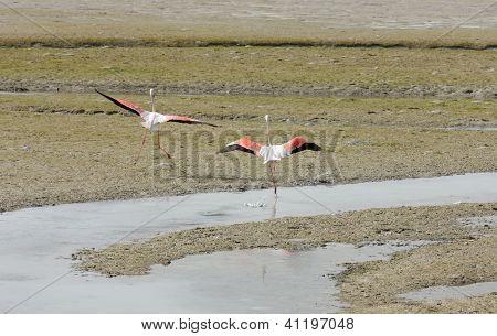 Flamingos raising its beautiful wings