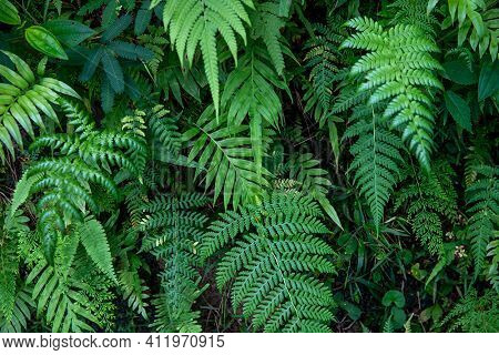 Green Fern Foliage And Grass, Forest Leaf Texture Photo. Wild Nature Floral Background. Fresh Fern F