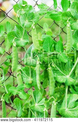 A Bush With Green Peas. Green Pea Pods. Growing Peas In The Country Garden.
