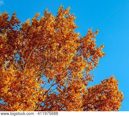 Top O' The Birch - The Top Section Of The Foliage Of A Birch Tree - Redmond, Or