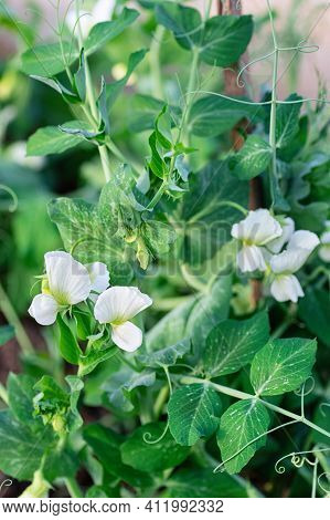 Young Shoots And Flowers Of Green Peas. Branch With Leaves And Flower. Close-up. Vertical Crop.