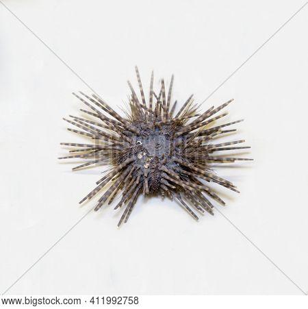 Echinometer Sea Urchin (latin: Echinometra Mathaei) With Sharp Striped Needles Isolated On A White B