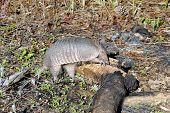 Wild armadillo digging in a burnt log in the forest. poster