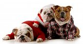 dog family - english bulldog father mother and daughter wearing clothing isolated on white background poster