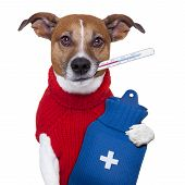 sick ill cold dog with fever and hot water bottle poster