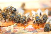 Closeup of bees eating honey on honeycomb frame poster