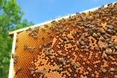 Close-up of bees on honeycomb frame  eating honey poster