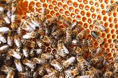 plenty of bees on honeycomb eating honey poster